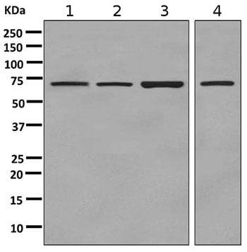Western blot - Anti-LINGO3 antibody [EPR9635] (ab169772)
