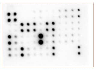 Multiplex Protein Detection - Mouse Cytokine Array - Membrane (34 targets) (ab169810)