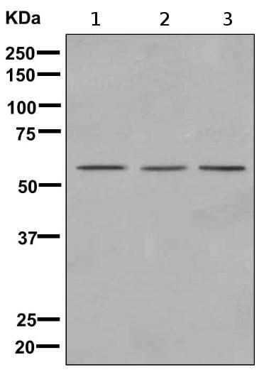 Western blot - Anti-NCLN antibody [EPR8529] (ab170100)
