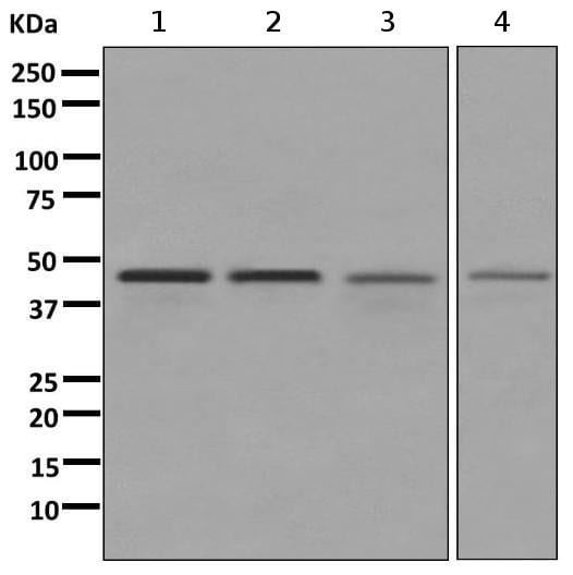 Western blot - Anti-NELFe antibody [EPR11600] (ab170104)