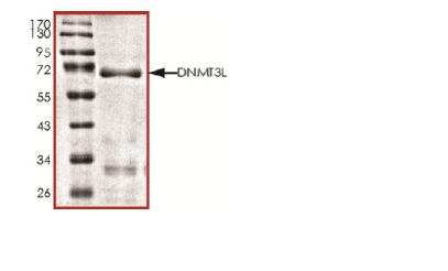SDS-PAGE - Dnmt3L protein (Active) (ab170406)
