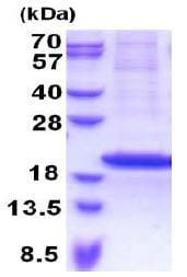 SDS-PAGE - RPS18 protein (His tag) (ab171466)