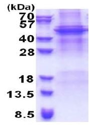SDS-PAGE - APOBEC4 protein (His tag) (ab171472)