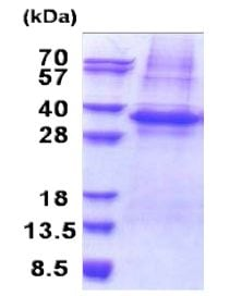 SDS-PAGE - PLSCR3 protein (His tag) (ab171481)