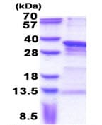 SDS-PAGE - PRRX1 protein (His tag) (ab171502)