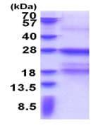 SDS-PAGE - Fc epsilon RI protein (His tag) (ab171505)