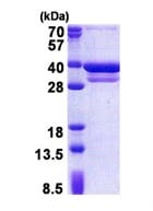 SDS-PAGE - CUEDC2 protein (His tag) (ab171602)