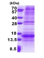 SDS-PAGE - NDP protein (His tag) (ab171607)