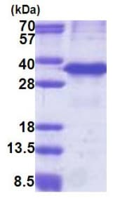 SDS-PAGE - Cathepsin Z protein (His tag) (ab171674)
