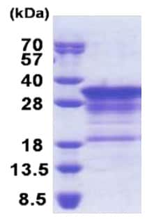 SDS-PAGE - Myelin Basic Protein (His tag) (ab171675)