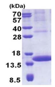 SDS-PAGE - PIP protein (His tag) (ab171678)