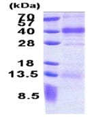 SDS-PAGE - FSTL1 protein (His tag) (ab171682)