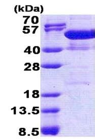 SDS-PAGE - NAP1L4 protein (His tag) (ab171686)