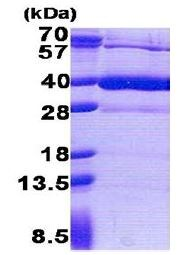 SDS-PAGE - HS3ST1 protein (His tag) (ab171694)
