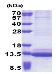 SDS-PAGE - Epigen protein (His tag) (ab171696)