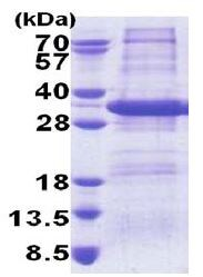 SDS-PAGE - STX17 protein (His tag) (ab171699)