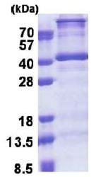 SDS-PAGE - DNTTIP1 protein (His tag) (ab171701)