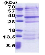 SDS-PAGE - DCUN1D4 protein (His tag) (ab171715)