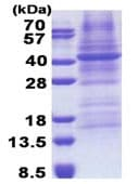 SDS-PAGE - FUT3 protein (His tag) (ab171721)