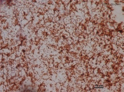 Immunohistochemistry (Formalin/PFA-fixed paraffin-embedded sections) - Anti-Enterococcus antibody (ab19980)