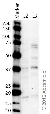Western blot - Anti-WDR5 antibody (ab22512)