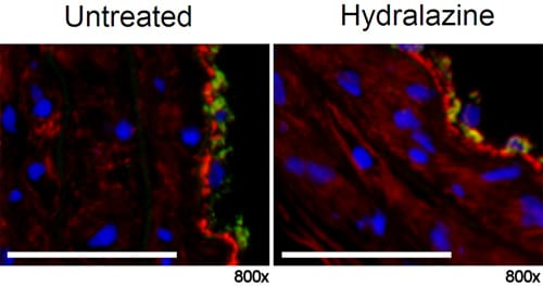 Immunohistochemistry (Frozen sections) - Anti-Calcium-independent Phospholipase A2 antibody (ab23706)