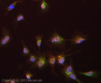 Immunocytochemistry/ Immunofluorescence - Anti-Apolipoprotein A II antibody (ab24241)