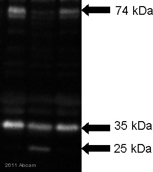 Western blot - Calpastatin antibody - Aminoterminal end (Domain L) Testis Isoform (ab28252)