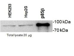 Western blot - Anti-PI 3 Kinase p85 beta antibody [T15] (ab28356)