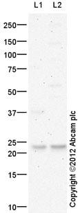 Western blot - Anti-ALR antibody (ab36376)