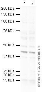 Western blot - Anti-PADI2 / PAD2 antibody (ab56075)