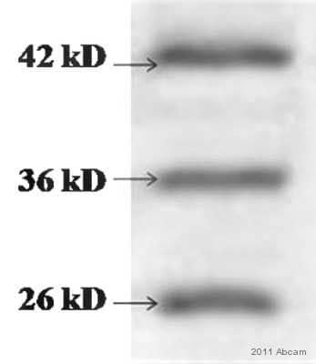 Western blot - Anti-Cathepsin L + V antibody [33/2] (ab6314)