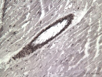 Immunohistochemistry (Frozen sections) - Goat polyclonal Secondary Antibody to Rabbit IgG - H&L (Biotin) (ab6720)