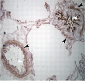 Immunohistochemistry (Frozen sections) - Goat anti-Chicken IgY H&L (Biotin) secondary antibody (ab6876)