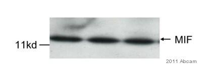 Western blot - Donkey polyclonal Secondary Antibody to Goat IgG - H&L (HRP) (ab6885)