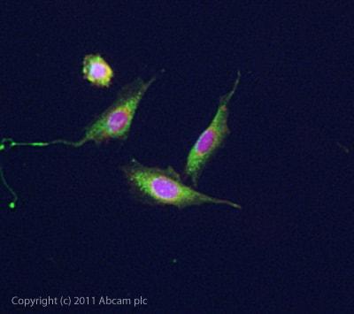 Immunocytochemistry/ Immunofluorescence - Anti-5HT7 Receptor antibody (ab61562)