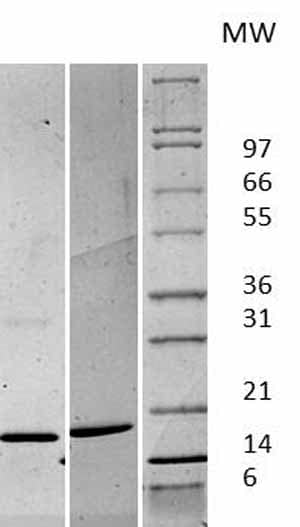 Other - Active human FGF basic protein fragment (ab61845)