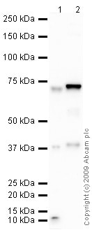 Western blot - Anti-C9 antibody (ab64011)