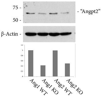 Western blot - Anti-ANGPT1 + ANGPT2 antibody (ab65835)