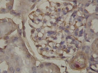 Immunohistochemistry (Formalin/PFA-fixed paraffin-embedded sections) - Annexin A1 antibody - Carboxyterminal end (ab65844)