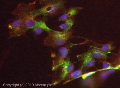 Immunocytochemistry/ Immunofluorescence - Azurocidin antibody (ab67452)