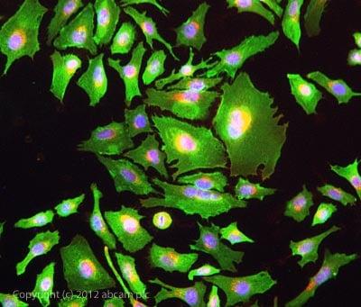 Immunocytochemistry/ Immunofluorescence - Anti-Oxytocin-neurophysin 1 antibody (ab67457)