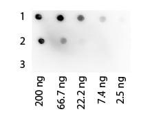 Dot Blot - Protein G protein (HRP) (ab7460)