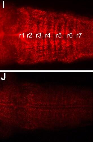 IHC - Wholemount - Anti-DeltaD antibody [Dld 5C7/2, zdd2] (ab73331)