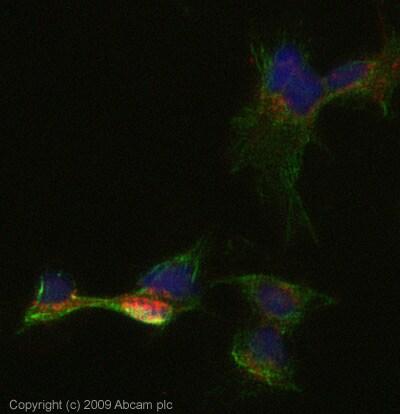 Immunocytochemistry/ Immunofluorescence - DLL1 antibody (ab76655)