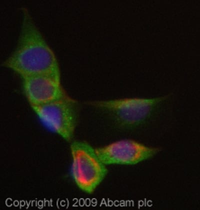 Immunocytochemistry/ Immunofluorescence - Lactoferrin antibody (ab77780)