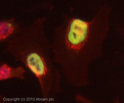 Immunocytochemistry/ Immunofluorescence - HNRPA3 antibody (ab78300)