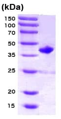 SDS-PAGE - RAC2 protein (Tagged) (ab78684)