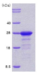 SDS-PAGE - Human Protein phosphatase inhibitor 1 full length protein (ab78756)