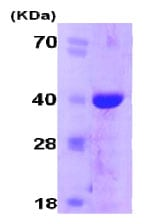 SDS-PAGE - Cyclophilin E protein (His tag) (ab78843)